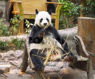 Giant panda bear eating bamboo in Chiang Mai Zoo, Thailand