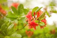 Rhododendron or Azalea Il Tasso