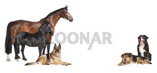 Pferde Hunde weißer Hintergrund
