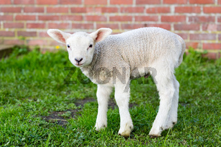 One white newborn lamb standing in green grass with wall