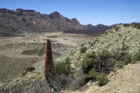 Red Teide bugloss, plant in Teide National Park. Tenerife