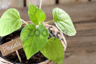 Physalis Andenbeere Jungpflanze mit Pappschild