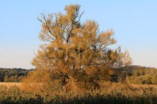 Weide, Nationalpark Unteres Odertal, Brandenburg