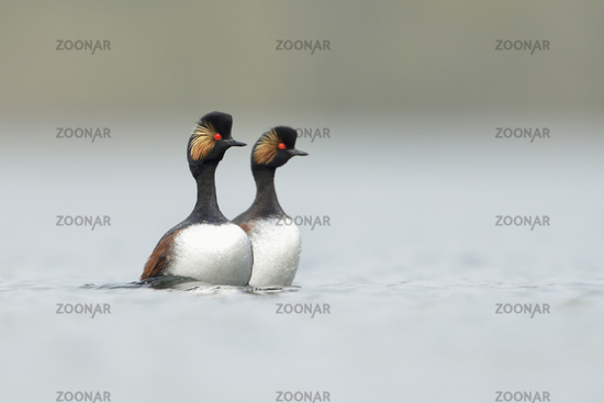 Black-necked Grebes *Podiceps nigricollis*