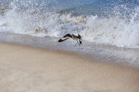 A willet bird, type of sandpiper running from ocean wave