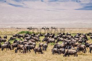 Herd of Wildebeest in the Nogorongoro Crater