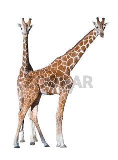 Young giraffe couple isolated over white background