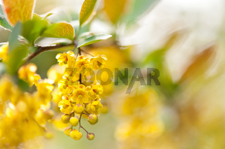 Berberis yellow flowering shrub detail