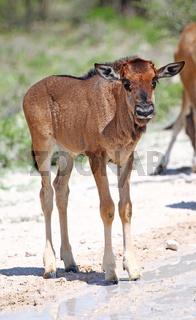 Sehr junges Gnu, Etosha, Namibia, very young wildebeest, Etosha, Namibia