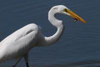 great egret with catching fish