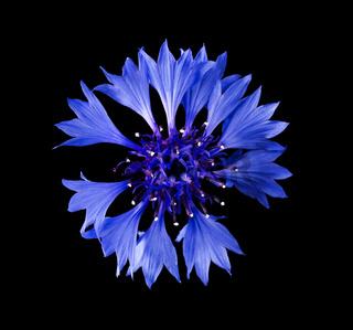 Kornblume Blüte von oben vor schwarzem Hintergrund