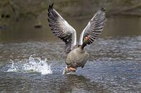Gray goose, (Anser anser), starting, Hamburg, Germany, Europe