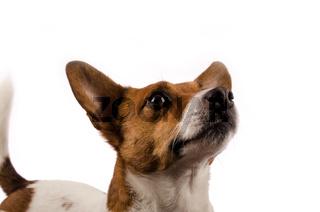 Neugieriger Jack Russell Terrier
