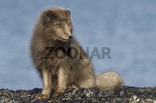 Commander's blue arctic fox sitting on the beach on a sunny day