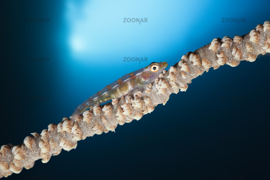 Peitschenkorallen-Zwerggrundel, Salomonen