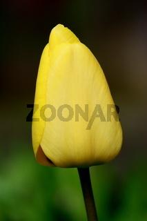 Tulpenknospe, gelb, quatratisch