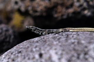 Teira dugesii, Lacerta dugesii, Madeira-Mauereidechse