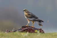 Male Western Marsh Harrier, Circus aeruginosus