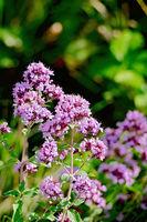 Oregano lilac