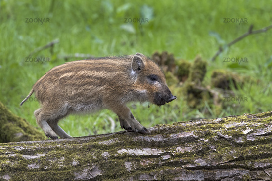 Wild boar on a trunk / Sus scrofa