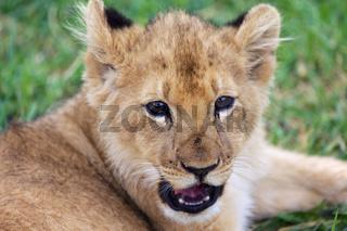 a baby lion in kruger national park