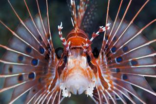 Antennen-Feuerfisch, Salomonen