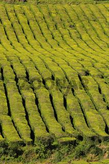 Tea plantation on Sao Miguel, Azores