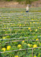 melon plantation with melons