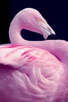 Chilean Flamingo Portrait