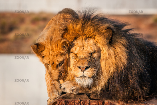 Lions resting in the sun