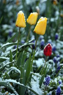 Tulpen im Schnee, Tulips in snow