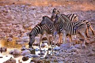 zebras at a waterhole