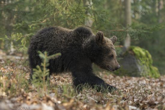 on its way... European Brown Bear *Ursus arctos*
