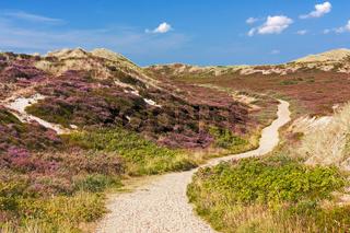Weg durch Dünenlandschaft mit blühender Heide auf Sylt