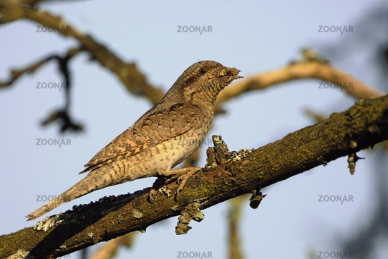 with ant larvae... Eurasian Wryneck *Jynx torquilla*