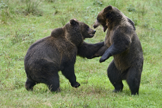 Playing... Eurasian brown bear *Ursus arctos*