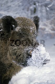 Wildschweinkeiler im Winter aeugt aufmerksam zum Waldrand - (Schwarzkittel - Wildschwein) / Wild Boar tusker in winter looking alert to the forest edge - (Wild Hog - Feral Pig) / Sus scrofa