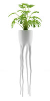 monsteria plant in pot isolated on white background