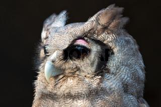 portrait of a verreaux's eagle-owl