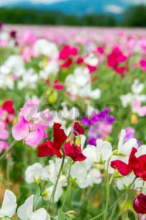 Colorful Lathyrus
