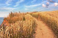 Weg durch Weizenfeld an der Ostsee im Abendlicht