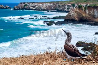 Blue-footed Booby, Ecuador Coastline, Isla de la Plata