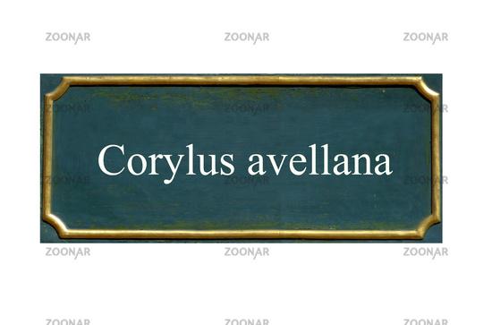 shield corylus avellana, hazelnut