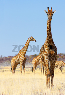 Group of giraffes