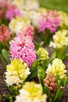 Hyacinthus blooming pink