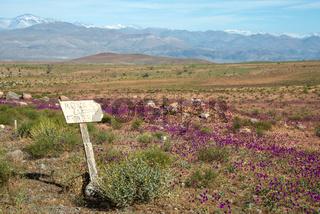 Flowering desert (Spanish: desierto florido) in the Chilean Atacama. The event is related to the El Nino phenomenon