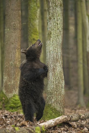 funny look... European Brown Bear *Ursus arctos*