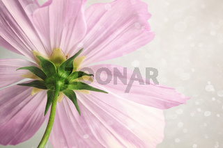 Pink cosmos flower with soft blur background