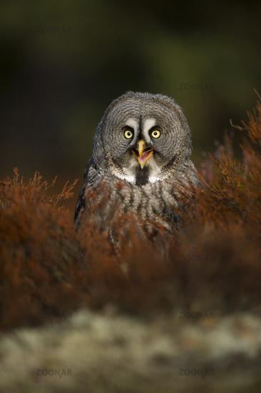 Happy Owl... Great Grey Owl *Strix nebulosa*