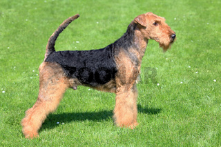 Airedale Terrier on a green grass lawn